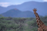 Reticulated Giraffe among Trees Photographic Print by  DLILLC