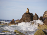 California Sea Lion Photographic Print by  DLILLC
