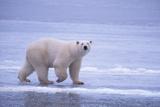 Polar Bear Walking on Ice Photographic Print by  DLILLC