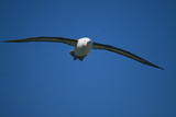 Black-Browed Albatross Flying Photographic Print by  DLILLC