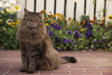 Maine Coon Cat on Sidewalk Photographic Print by  DLILLC