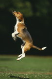 Beagle Jumping in Park Photographic Print by  DLILLC