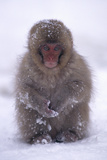 Japanese Macaque in Snow Photographic Print by  DLILLC