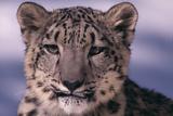 Snow Leopard Photographic Print by  DLILLC