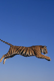 Bengal Tiger Jumping Photographic Print by  DLILLC