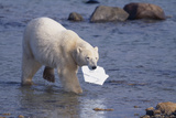 Polar Bear Carrying Styrofoam in Mouth Photographic Print by  DLILLC