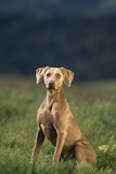 Weimaraner Sitting in Field Photographic Print by  DLILLC