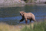 Grizzly Walking in River Photographic Print by  DLILLC