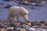 Polar Bear Walking on Rocks Photographic Print by  DLILLC