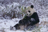 Giant Panda in Snow Photographic Print by  DLILLC