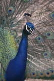 Indian Peafowl Photographic Print by  DLILLC