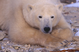 Polar Bear Lying on Rocks Photographic Print by  DLILLC