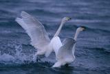 Whooper Swans Landing in Water Impressão fotográfica por  DLILLC