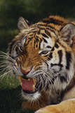 Bengal Tiger Snarling Photographic Print by  DLILLC