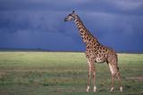 Masai Giraffe in Savanna Photographic Print by  DLILLC