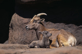 Bighorn Sheep with Offspring Photographic Print by  DLILLC