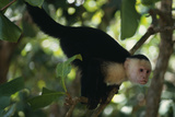 Capuchin Balancing on Branch Photographic Print by  DLILLC