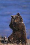 Grizzly Hiding behind Paws Photographic Print by  DLILLC