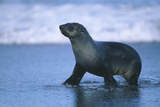 Antarctic Fur Seal Walking in Shallow Water Photographic Print by  DLILLC