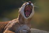 Yawning Cougar Photographic Print by  DLILLC