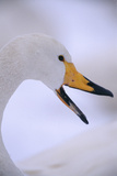 Whooper Swan Photographic Print by  DLILLC