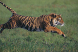 Bengal Tiger Running in Grass Photographic Print by  DLILLC
