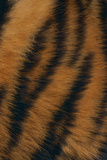 Tiger Fur Photographic Print by  DLILLC
