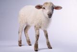 Baby Lamb Photographic Print by  DLILLC