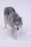 Gray Wolf in the Snow Photographic Print by  DLILLC