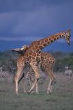 Masai Giraffe Calves Necking Photographic Print by  DLILLC