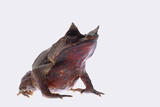 Malaysian Horned Frog Photographic Print by  DLILLC