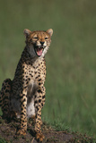 Cheetah Laughing Photographic Print by  DLILLC