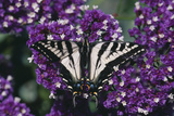 Pale Swallowtail Butterfly Photographic Print by  DLILLC