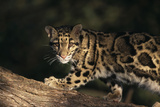 Clouded Leopard Walking on Tree Branch Photographic Print by  DLILLC