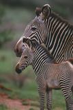 Grevy's Zebras Photographic Print by  DLILLC