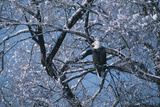 Bald Eagle Perching in Tree Photographic Print by  DLILLC
