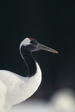 Red-Crowned Crane Photographic Print by  DLILLC