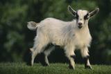 Pygmy Goat Photographic Print by  DLILLC