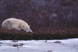 Polar Bear Sleeping on Riverbank Photographic Print by  DLILLC