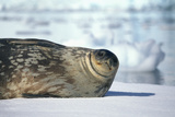 Weddell Seal Lying on Ice Photographic Print by  DLILLC