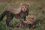 Cheetah Cubs Photographic Print by  DLILLC