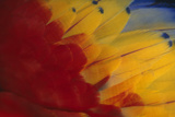 Scarlet Macaw Feathers Photographic Print by  DLILLC