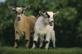 Two Pygmy Goats Photographic Print by  DLILLC
