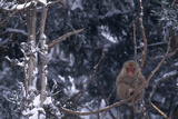 Japanese Macaque on Branch Photographic Print by  DLILLC