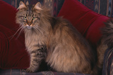 Maine Coon Cat on Chair Photographic Print by  DLILLC