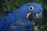 Hyacinth Macaw Photographic Print by  DLILLC