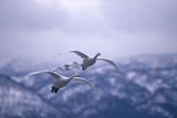 Whooper Swans Flying Photographic Print by  DLILLC