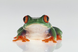 Red Eyed Tree Frog Photographic Print by  DLILLC