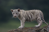 White Bengal Tiger Cub on Rocks Photographic Print by  DLILLC