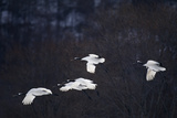 Red-Crowned Cranes in Flight Photographic Print by  DLILLC